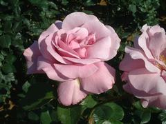 rose-BlueLight01a.JPG