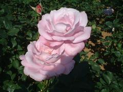 rose-BlueMoon01a.JPG