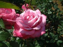 rose-BluePerfume01a.JPG