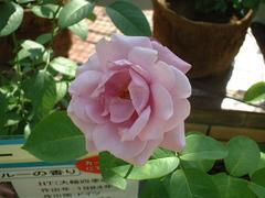 rose-BlueRiver01a.JPG
