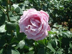 rose-CharlesdeGaulle01a.JPG