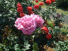 rose-MoonShadow01a.JPG