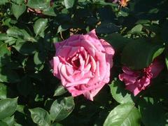 rose-Shiun01a.JPG