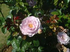 rose-tsuruBlueBajou01a.JPG